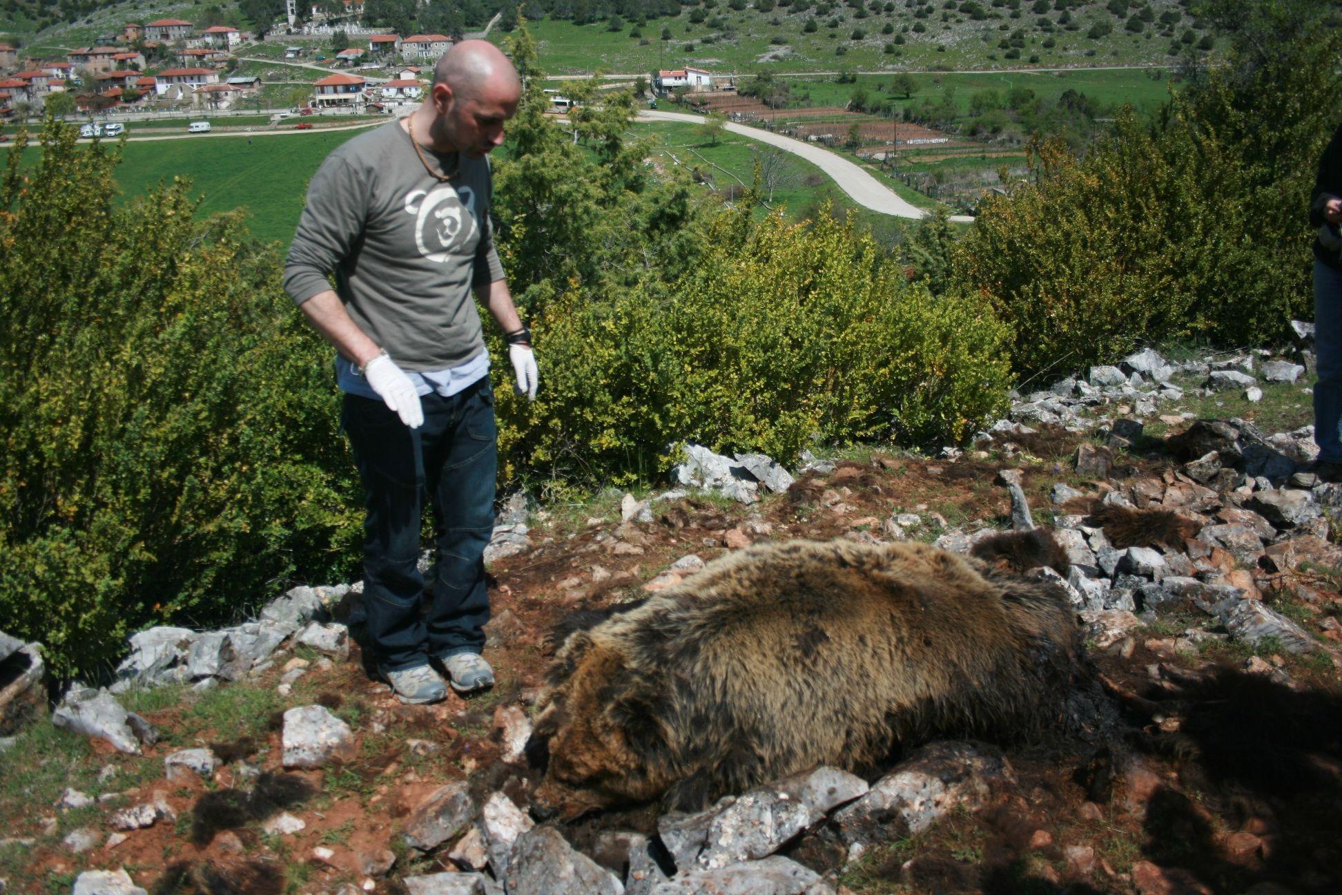 Βρέθηκε δηλητηριασμένη αρκούδα στους Ψαράδες Πρεσπών
