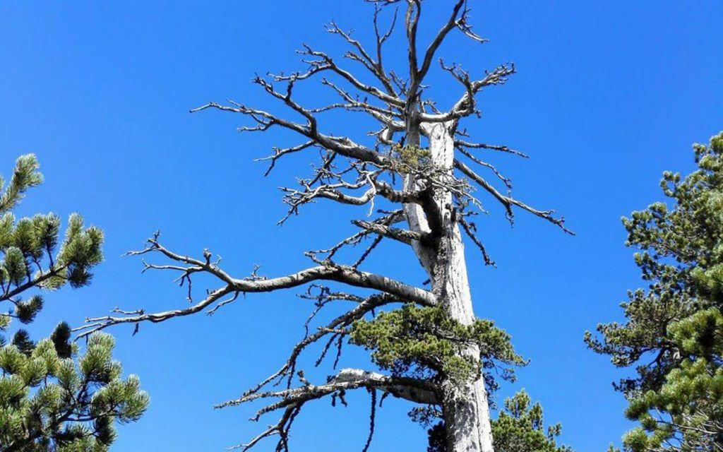 Ένα ιταλικό πεύκο το γηραιότερο δέντρο στην Ευρώπη | in.gr
