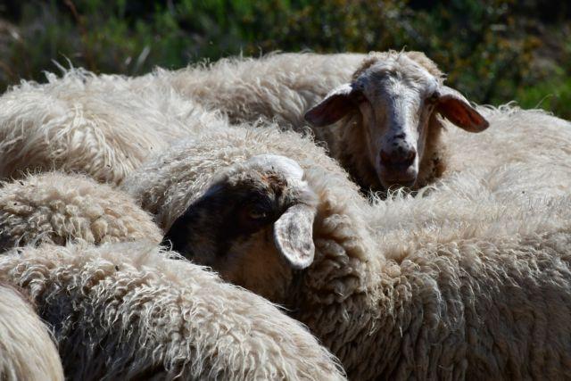 Μεταλλαγμένα πρόβατα για την καταπολέμηση της νόσου Μπάτεν | in.gr