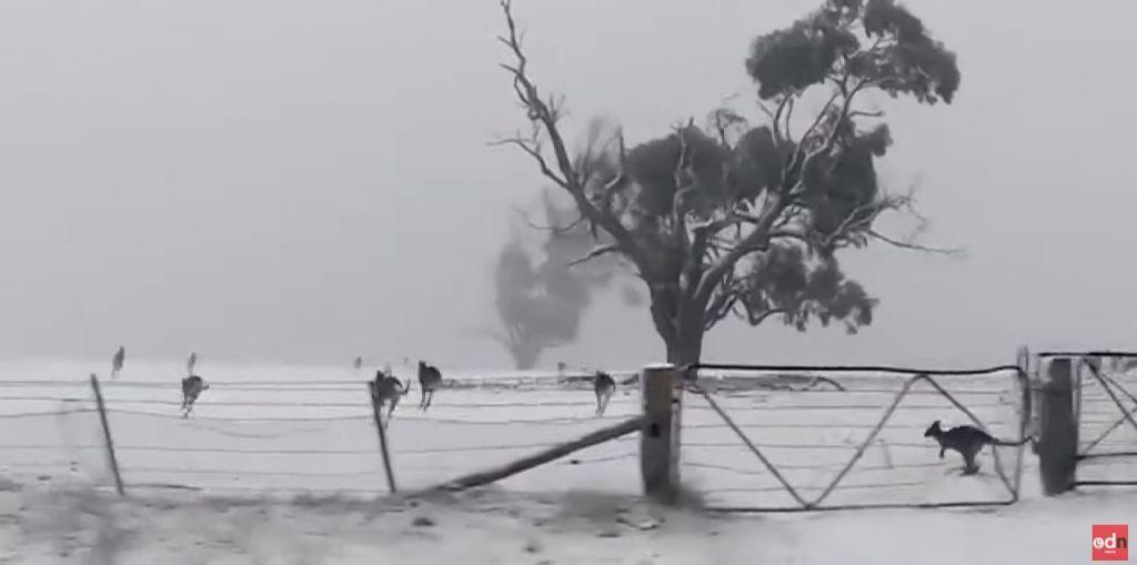Παιχνίδια στο χιόνι για… τα καγκουρό της Αυστραλίας   in.gr