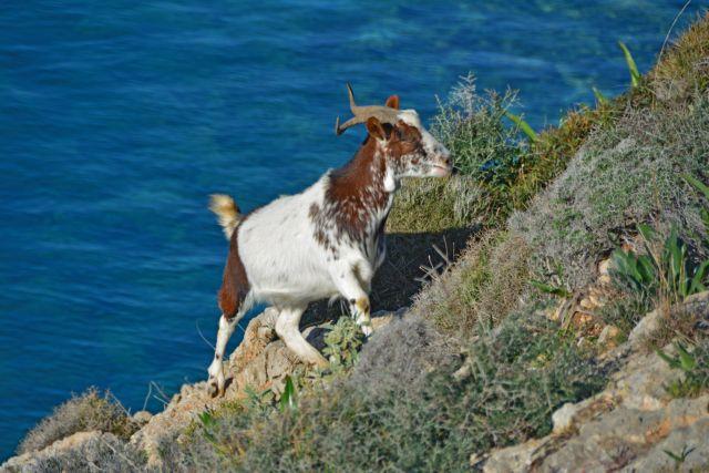 Welt : Γιατί οι κατσίκες στη Σαμοθράκη καταστρέφουν το νησί