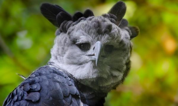 harpy-eagle-staring-at-camera-1024x614-600x360 ΄Αρπυια: Το πιο ισχυρό αρπακτικό του πλανήτη