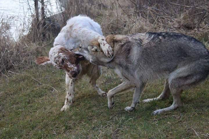 Ανησυχία από την εμφάνιση λύκων σε χωριά της Αλεξανδρούπολης! (Φωτό)