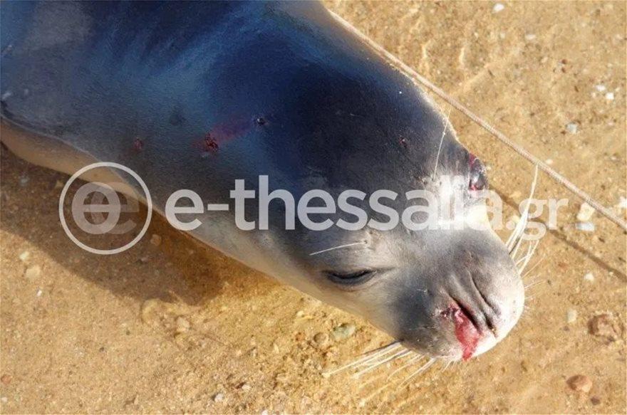 Φρίκη στο Πήλιο: Πυροβόλησαν θανάσιμα φώκια