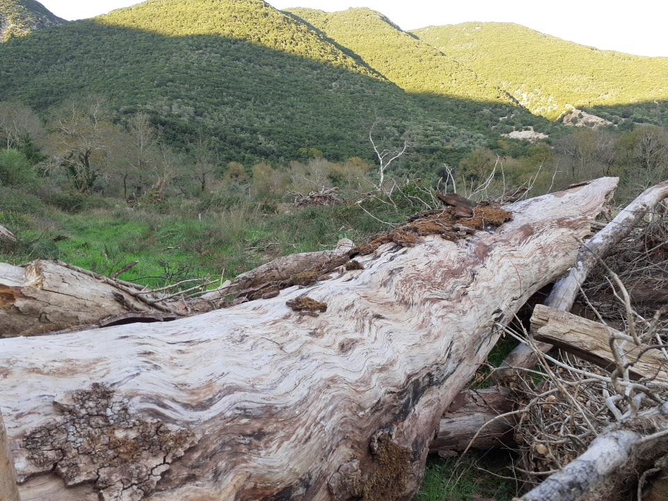 Ήπειρος : Ένας μύκητας θερίζει αιωνόβια πλατάνια και αλλάζει την εικόνα του περιβάλλοντος