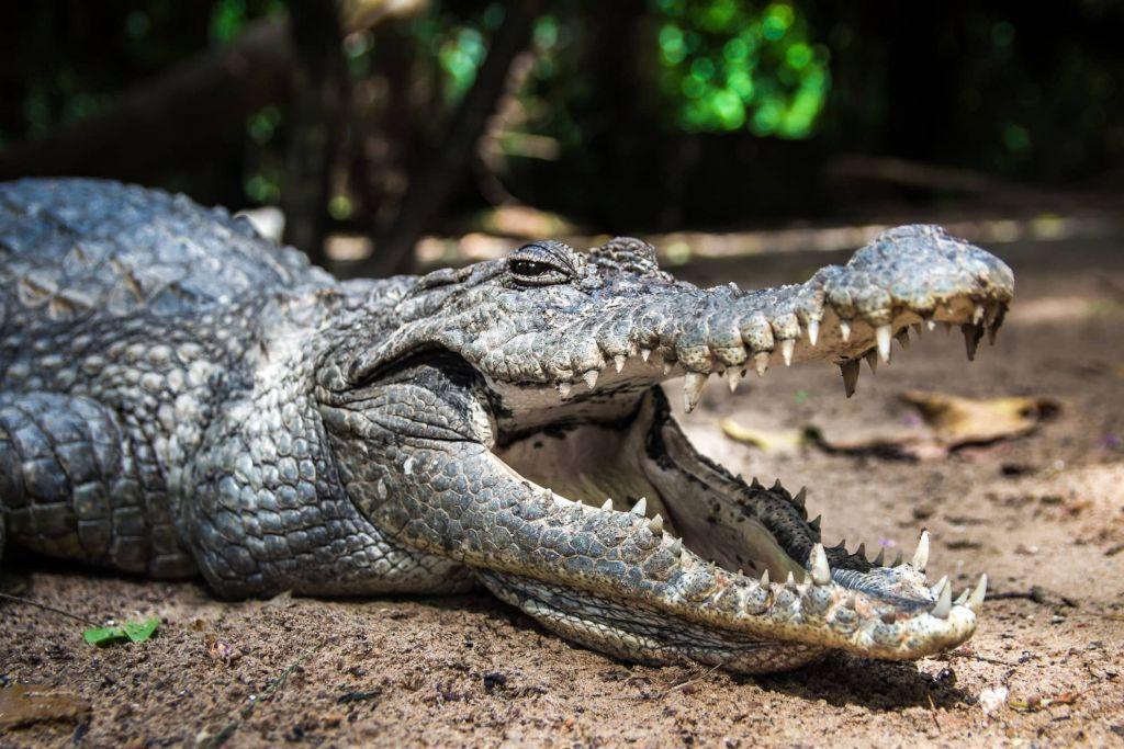 Γιατί οι κροκόδειλοι μένουν ίδιοι από την εποχή των δεινοσαύρων;