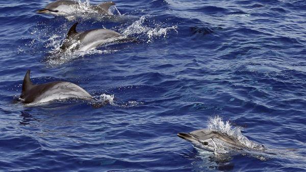 86 νεκρά δελφίνια εντοπίστηκαν νεκρά στα ανοιχτά της Μοζαμβίκης