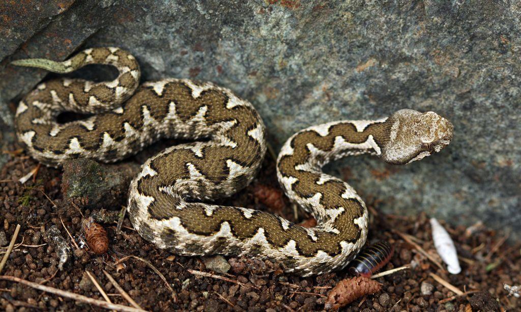 «Το δάγκωμα της οχιάς» : Έλληνας Βιολόγος καταρρίπτει μύθους για τα φίδια και τις «μαύρες χήρες»