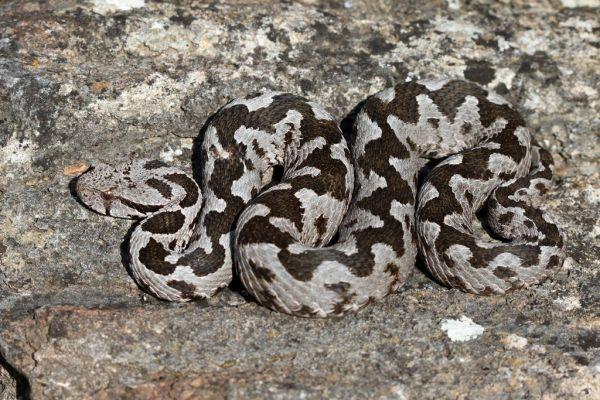 «Το δάγκωμα της οχιάς» : Έλληνας καθηγητής Βιολογίας καταρρίπτει μύθους για τα φίδια και τις «μαύρες χήρες»