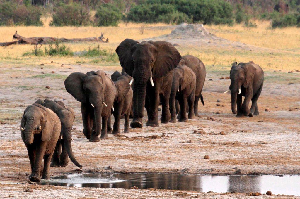 Κρίσιμη η κατάσταση για τους ελέφαντες της Αφρικής
