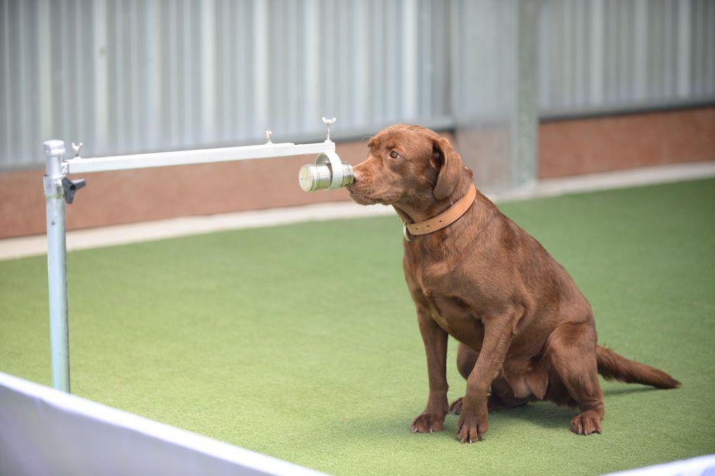 Κοροναϊός : Σκύλοι με 95% ποσοστό εντοπισμού του ιού σε ανθρώπους