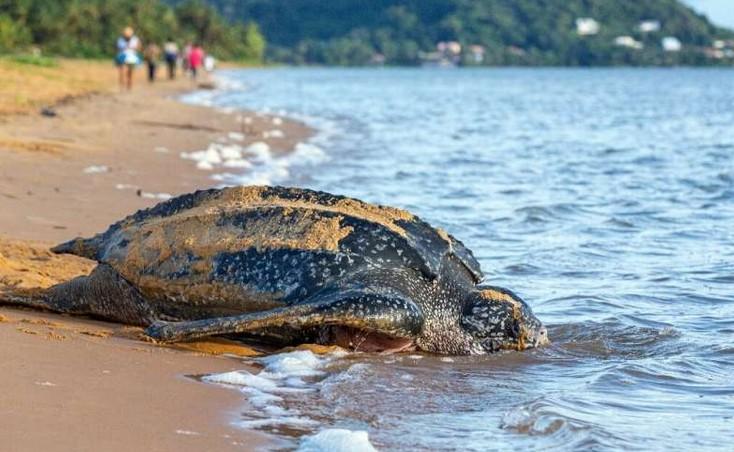 Ισημερινός : Γεννήθηκαν 9 χελωνάκια που ανήκουν στις απειλούμενες με εξαφάνιση δερματοχελώνες