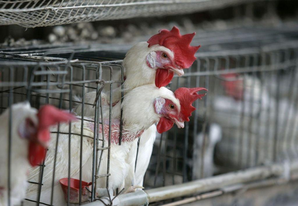 Τέλος στην εκτροφή ζώων σε κλουβιά ζητά έκθεση για λογαριασμό της ΕΕ