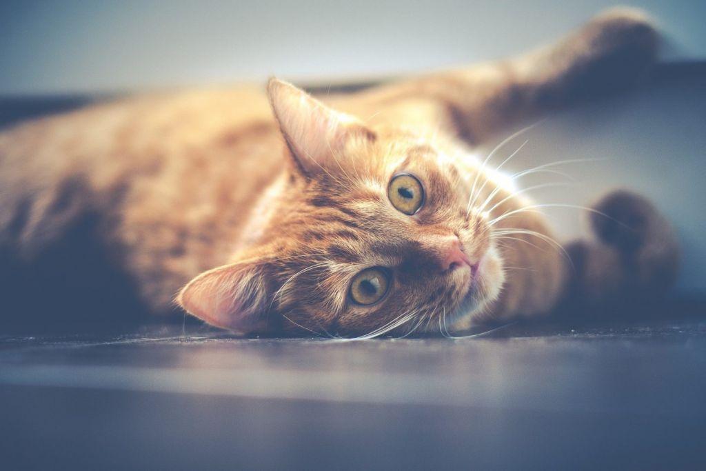 Ερευνα: Οι γάτες μπορούν να κολλήσουν κοροναϊό από τους ανθρώπους