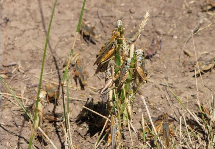 ΗΠΑ: Μετά την ξηρασία, οι αδηφάγες ακρίδες