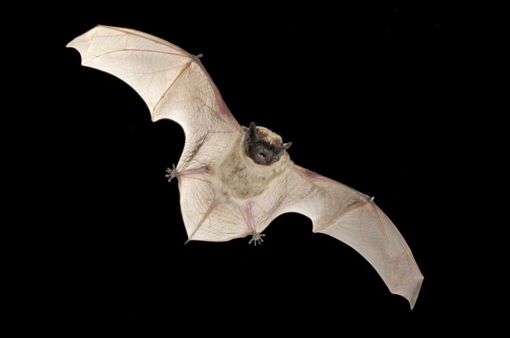 Κοροναϊός συγγενικός με το MERS βρέθηκε σε νυχτερίδες στην Ελβετία