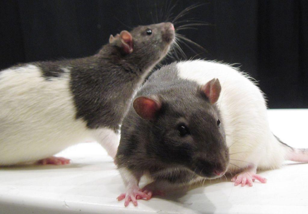 Αμφιλεγόμενο πείραμα οδήγησε στα πρώτα έγκυα αρσενικά θηλαστικά