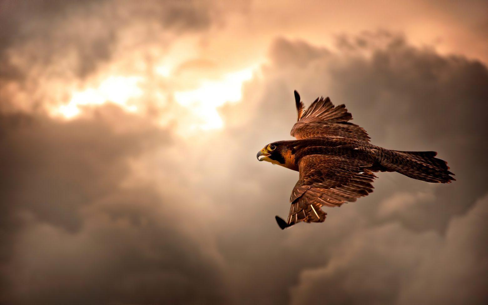 Γεράκι αρπάζει drone σε ύψος 700 μέτρων!