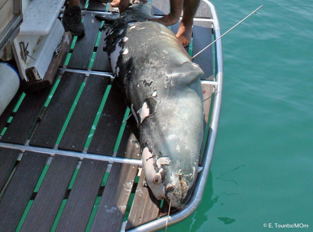 Αλόννησoς: Σκότωσαν με ψαροντούφεκο τον «Κωστή» – Ήταν η φώκια-μασκότ του νησιού