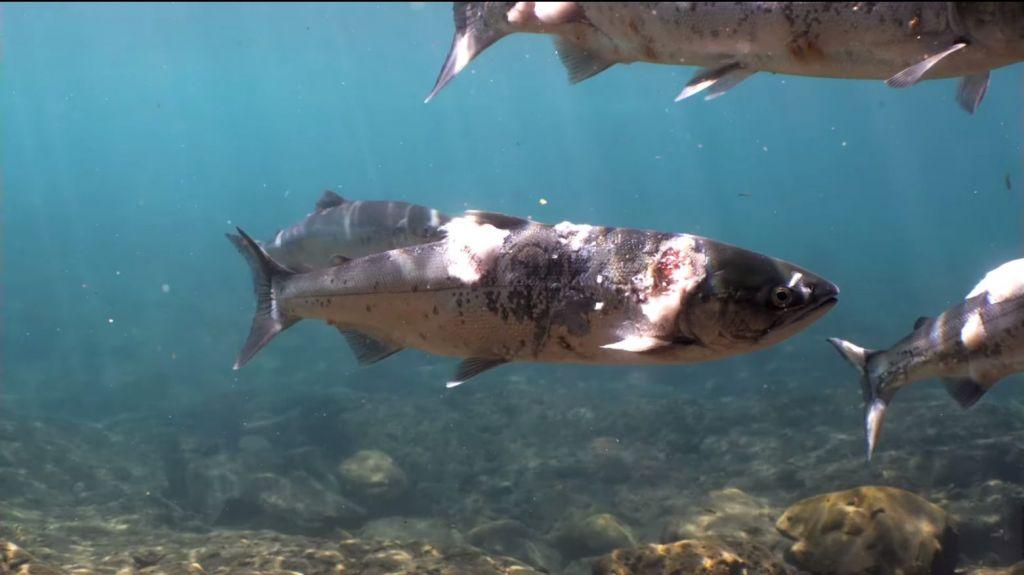 Καύσωνας: Σολομοί «έσκασαν» από τη ζέστη μέσα στο νερό