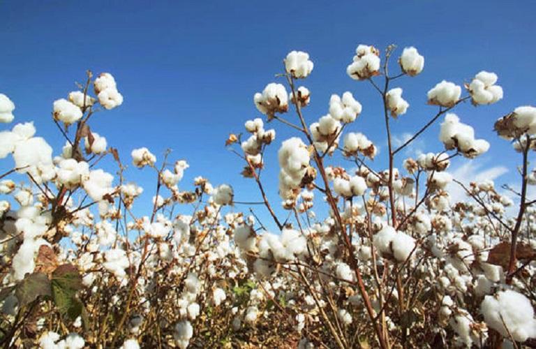 Τρίκαλα – Συστάσεις και καλλιεργητικές πρακτικές στη βαμβακοκαλλιέργεια