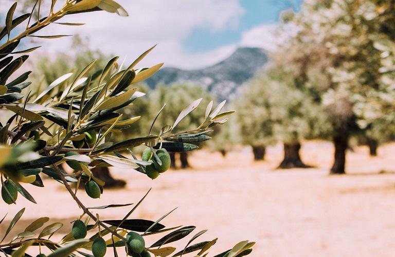 Πρόγραμμα προστασίας της ελαιοκομίας στην Κρήτη