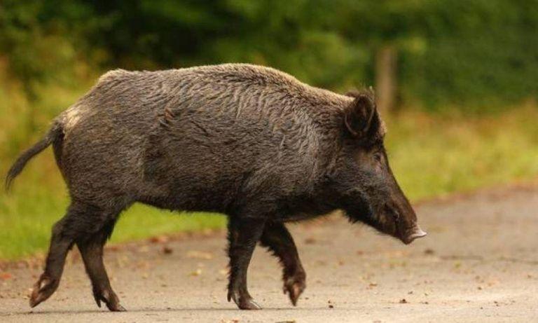 Η Περιφέρεια Αττικής τίθεται υπέρ της μετακίνησης των αγριόχοιρων και ενάντια στη θανάτωσή τους
