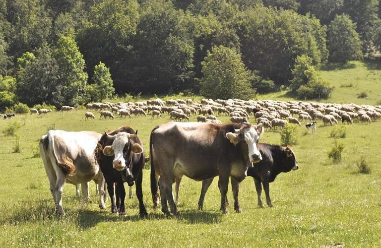 Βοοειδή – Μέτρα προστασίας από την οζώδη δερματίτιδα