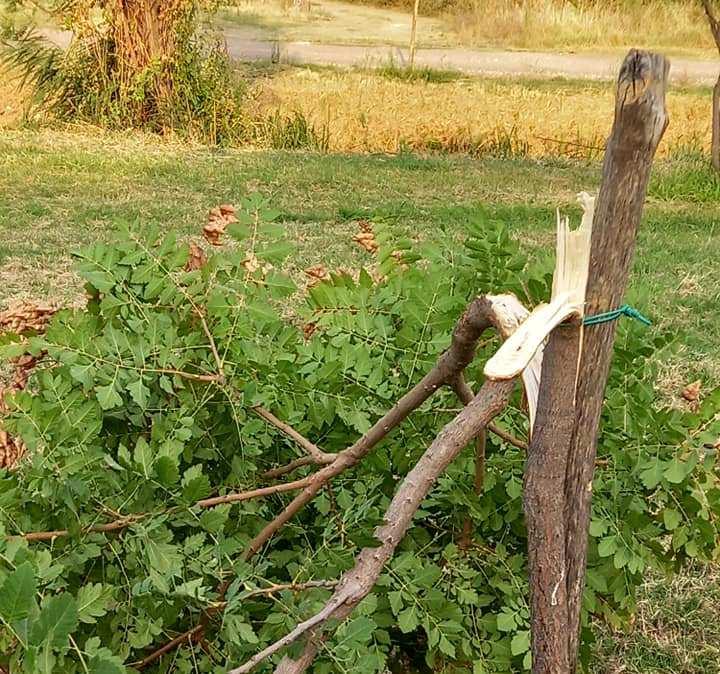 Άρρωστοι άνθρωποι έσπασαν δέντρα