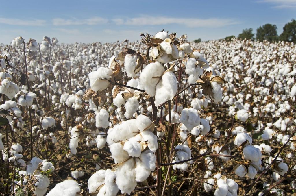 Βαμβάκι – Η εθνική στρατηγική για την καλλιέργεια, μεταποίηση και εμπορία – Τι προβλέπει