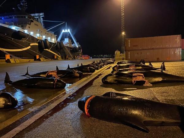 Νησιά Φερόε - H θάλασσα βάφτηκε ξανά «κόκκινη» - Σφαγιάστηκαν άλλα 52 δελφίνια