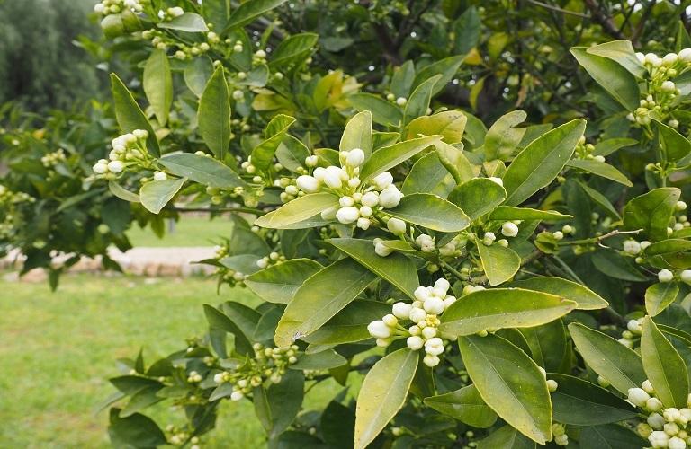 Εσπεριδοειδή – Πως θα περιοριστούν οι εντομολογικές προσβολές