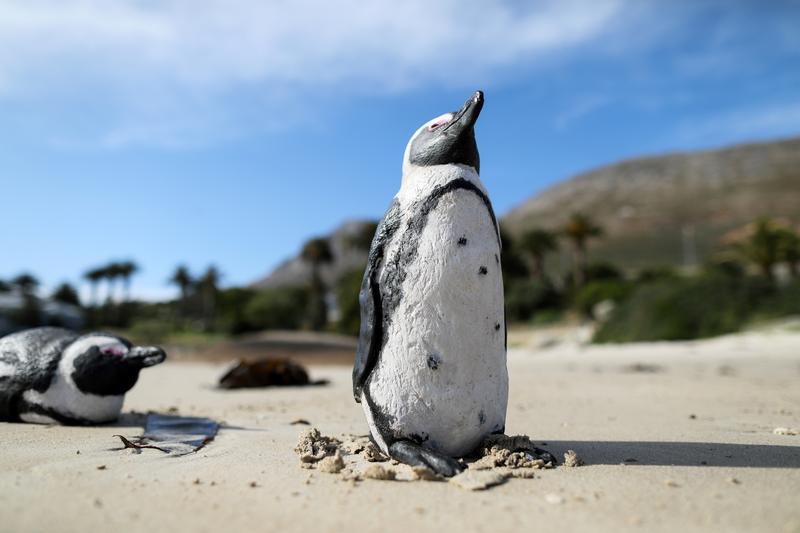Νότια Αφρική – Νεκροί από τσιμπήματα μελισσών 63 πιγκουίνοι απειλούμενου είδους