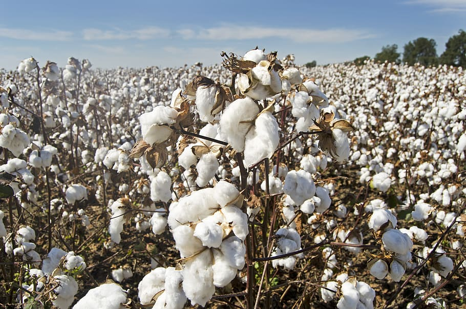 Cotton – The national strategy for cultivation, processing and marketing is being put up for public consultation