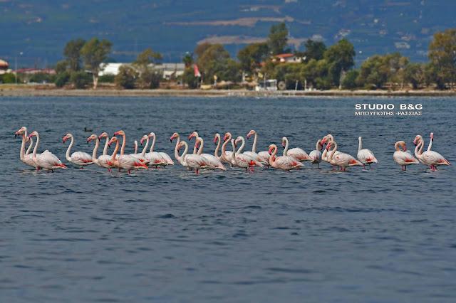 Ναύπλιο – Ήρθαν ξανά τα εντυπωσιακά ροζ φλαμίνγκο – Εντυπωσιακές εικόνες στον υδροβιότοπο