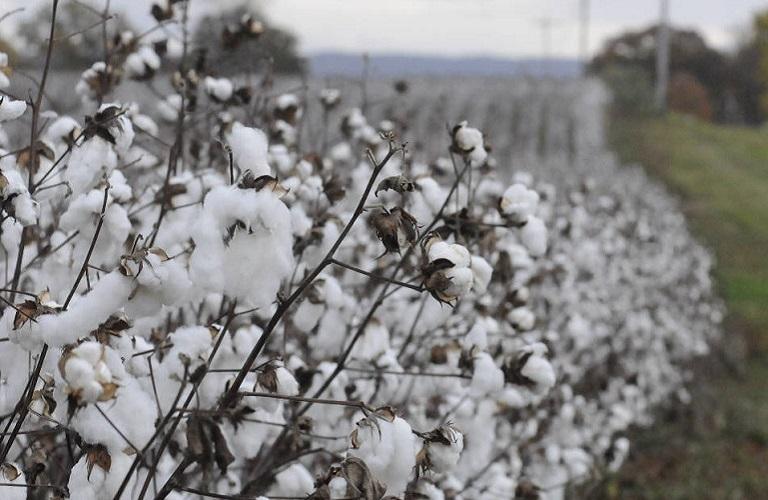 Βαμβάκι – Καλλιεργητικές πρακτικές στα υπό συγκομιδή χωράφια στα Τρίκαλα
