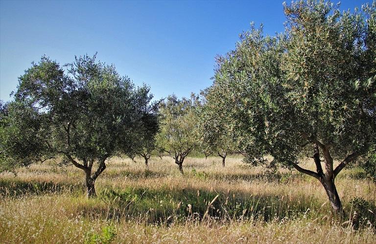 Γεράκι Λακωνίας – Έντονη ανησυχία λόγω της ακαρπίας των ελαιοδένδρων