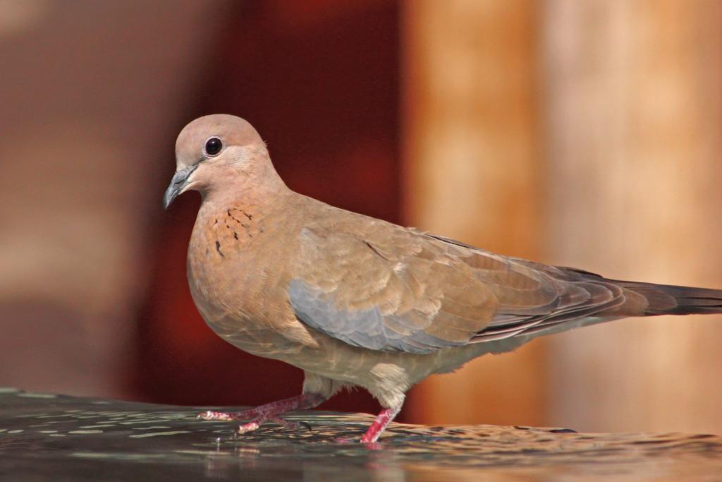 Ανακαλύφτηκε στη Λέσβο το φοινικοτρύγονο, νέο για την Ελλάδα αναπαραγόμενο είδος πουλιού