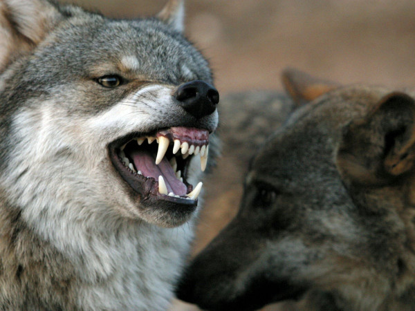 Σοκ στο Σουφλί - Λύκοι έπνιξαν και κατασπάραξαν δύο σκυλιά (φρικτές εικόνες)